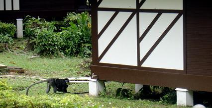 malaysian monkey