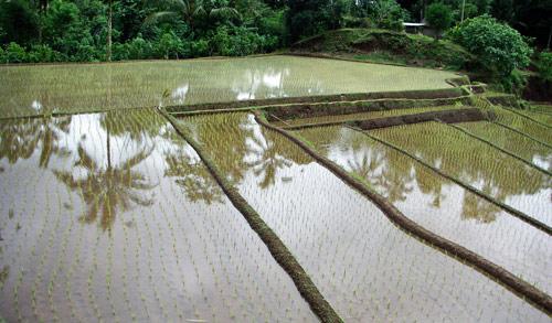 bali-rice-paddies-3