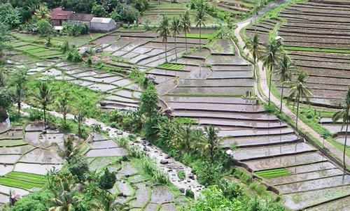 rice paddies bonanza
